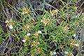 Satureja sp. Lamiaceae 04.jpg