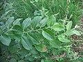 Saule (Salix aurita), Saint-Aubin-le-Cauf, France - 20100703-02.jpg