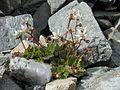 Saxifraga stellaris subsp stellaris.jpg