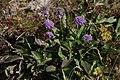 Scabiosa lucida, Grindelwald - img 35599.jpg