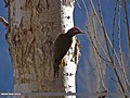 Scaly-bellied Woodpecker (Picus squamatus) (15708222309).jpg
