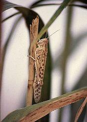 Schistocerca gregaria solitary