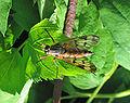 Schnepfenfliege (Rhagionidae) 1.jpg