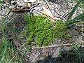 Scleranthus biflorus plant4 Walcha NT - Flickr - Macleay Grass Man.jpg