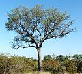 Sclerocarya birrea, habitus, Steenbokpan, a.jpg