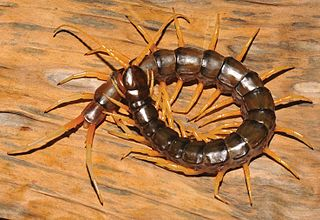 <i>Scolopendra cataracta</i> Species of centipede