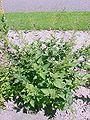 Scrophularia nodosa4.jpg