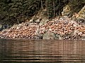 Sea Lions Haulout 635.jpg