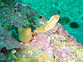 Sea squirts at Castle Rocks P7190636.JPG