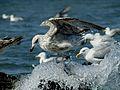 Seagull (9169505234).jpg