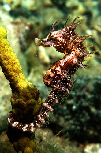 Gulf St Vincent - Image: Seahorse*