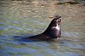 Seal at Hout Bay 1.jpg