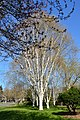 Seattle - Birches near the Ceramic and Metal Arts Building, University of Washington - 01.jpg