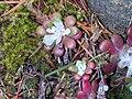 Sedum spathulifolium (10).jpg