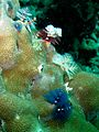 Several Christmas tree worms (5611893475).jpg