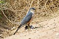 Sharp-shinned Hawk (Accipiter striatus) (19730677113).jpg