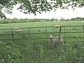 Sheep at North Mymms - geograph.org.uk - 1334151.jpg