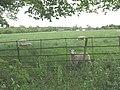 Sheep at North Mymms - geograph.org.uk - 1334151.jpg