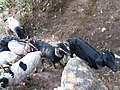 Sheep in the forest, dolakha3.jpg