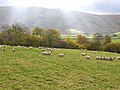Sheep near Glenwhargen Farm - geograph.org.uk - 1553093.jpg