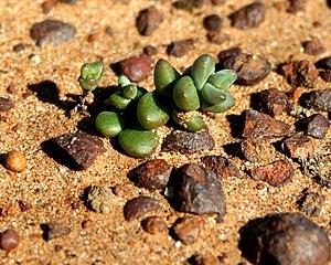 Dudleya - Short-leaved dudleya (''Dudleya blochmaniae'' subsp. ''brevifolia'') at Carmel Mountain, San Diego