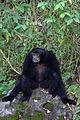 Siamang @ Taipei Zoo (5234550745).jpg
