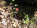 Silene virginica (desultrix).jpg