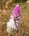 Silver Cockscomb (Celosia argentea) - Flickr - gailhampshire.jpg