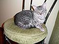 Silver tabby cats E1.jpg