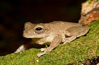 Panama cross-banded tree frog Species of amphibian