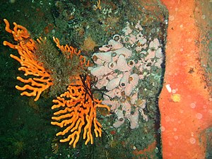 Sinuous sea fans and orange wall sponge at Finlay's Point PA011692.JPG