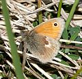 Small Heath Coenonympha pamphilus - Flickr - gailhampshire.jpg