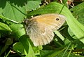 Small heath (Havl.) (15797294178).jpg