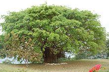 [Bild: 220px-Soibada_tree.jpg]