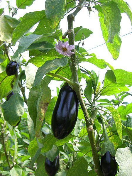 solanum melongena  eggplant   aubergine