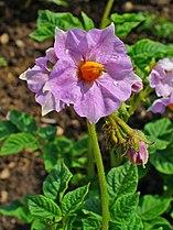 Solanum tuberosum 003.JPG