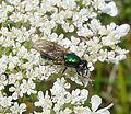 Soldierfly. Broad Centurion. female. Chloromyia formosa. Stratiomyidae - Flickr - gailhampshire (1).jpg
