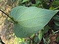 Solena amplexicaulis 03.JPG