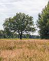 Solitaire eik (Quercus). Locatie, Stuttebosch in de lendevallei. Provincie Friesland 03.jpg