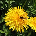 Solitary wasp? on a dandelion, Sandy, Bedfordshire (8693092583).jpg