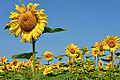 Sonnenblumen Biohof Tomic 18072014 690.jpg