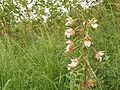 Soo- neiuvaip (Epipactis palustris).jpg