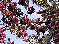 Sorbus aucuparia20090812 416.jpg