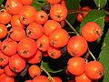 Sorbus aucuparia vaisiai, 2006-0823.jpg