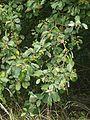 Sorbus cordigastensis 220816c.jpg