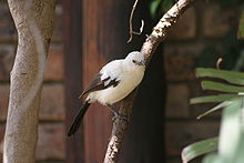 Southern Pied-babbler (Turdoides bicolor).jpg