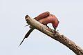Southern carmine bee-eater, Merops nubicoides, Savuti marsh, Chobe National Park, Botswana (32462175805).jpg
