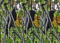Spangled Drongo at Narendrapur I.jpg