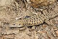 Spanish Psammodromus (Psammodromus hispanicus) (39932851452).jpg