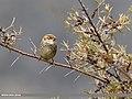 Spanish Sparrow (Passer hispaniolensis) (32370461093).jpg